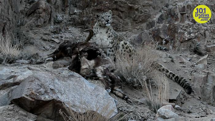 In Search Of A Snow Leopard